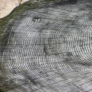 Tree.ring.arp